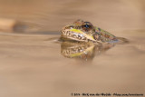Perez' Water FrogPelophylax perezi