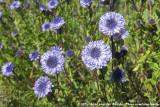 Globe DaisyGlobularia alypum