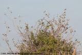 Eurasian Tree SparrowPasser montanus montanus