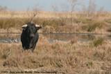 Camargue Bull