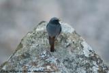 Black RedstartPhoenicurus ochruros gibraltariensis
