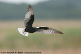 White-Winged Tern  (Witvleugelstern)