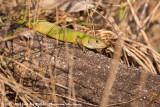 Western Green LizardLacerta bilineata