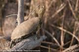 European Pond TurtleEmys orbicularis galloitalica