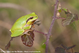 Mediterranean Tree FrogHyla meridionalis