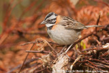 Rufous-Collared Sparrow  (Roodkraaggors)