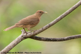 Clay-Colored Thrush (Grays Lijster)