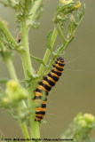 Cinnabar MothTyria jacobaeae
