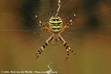 Wasp SpiderArgiope bruennichi bruennichi