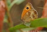 GatekeeperPyronia tithonus tithonus