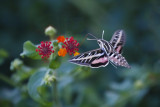 October 2013 - Delicate - Hawk Moth - Dennis Hedberg