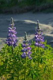 Turnagain Arm Lupine