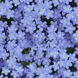 Forget-Me-Not #7 Seller