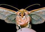 Oak-Moth-1