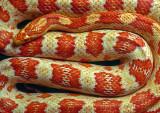 Albino-Corn-Snake