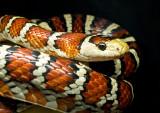 Bando (King Snake)