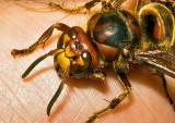 Unhappy--Hornet
