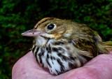 Stunned-Ovenbird