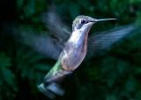 Humming-Bird-2016---1
