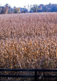Cornfield-with-Fence