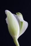 Tulip Unfurling