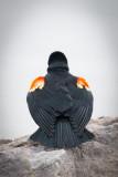Red Wing Black Bird.JPG