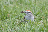 Yummy Lunch for a Chipping Sparrow