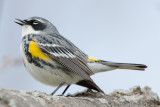 Yellow-Rumped Warbler singing his heart out