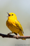 Yellow Warbler singing yet another beautiful song