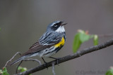 Another Yellow-rumped Warbler performance