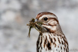 Song Sparrow Yummies