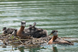 A Grebe Family at Lunch Time