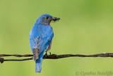 Bluebird (m)