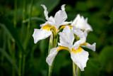 Iris Sibirica White Belle