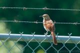High Road Jail Bird?  or Brown Thrasher!  (Thanks Linda)