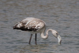 Greater Flamingo (Juvenile)