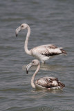 Greater Flamingos (Juvenile)
