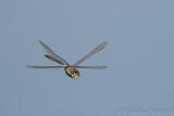 Amazing Dragonfly