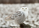 Snowy Owl Number One