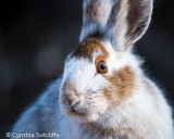 Pretty Lady (Snowshoe Hare)