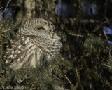 Barred Owl Enjoying the Sunshine