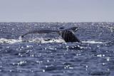 Humpback Whale-4.jpg