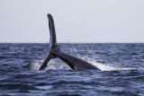 Humpback Whale-2.jpg