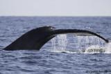 Humpback Whale-3.jpg