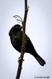 Bronzed Red-eyed Cowbird.jpg