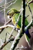 Orange-fronted Parakeet.jpg
