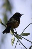 Orchard Oriole m.jpg