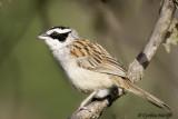 Stripe-headed Sparrow.jpg