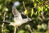 Thick-billed Kingbird.jpg