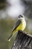 Tropical Kingbird-2.jpg